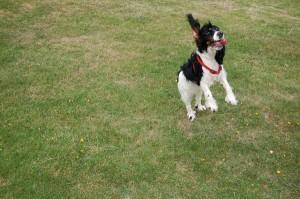 A photo of a dog jumping through the air