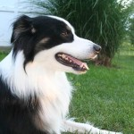 A photo of border collie