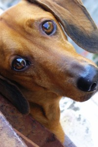 Picture of Dachshund looking up at the camera