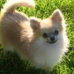 A photo of palmaranian dog